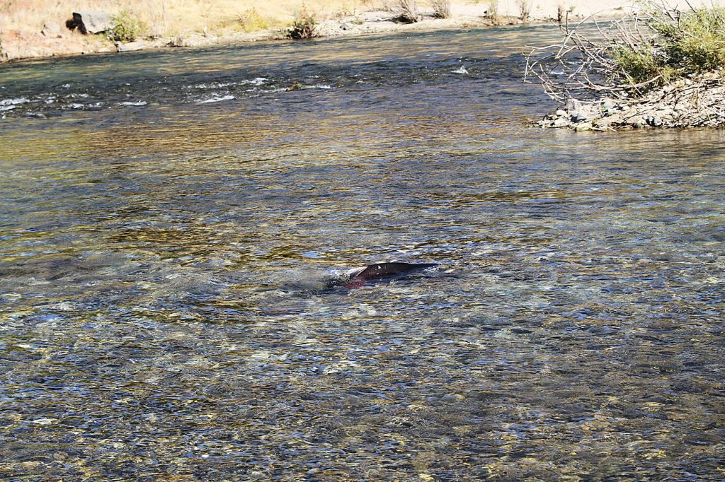 Salmon getting ready to spawn on the lower Yuba.