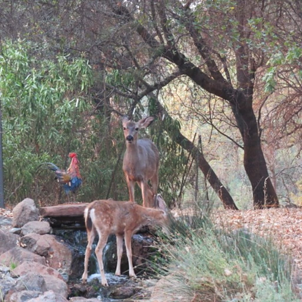 Deer at the top of our waterfall.