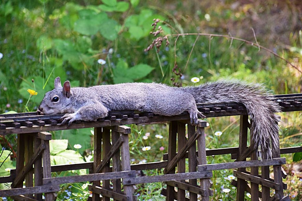 A squirrel cools off on the trestle on the outdoor layout.