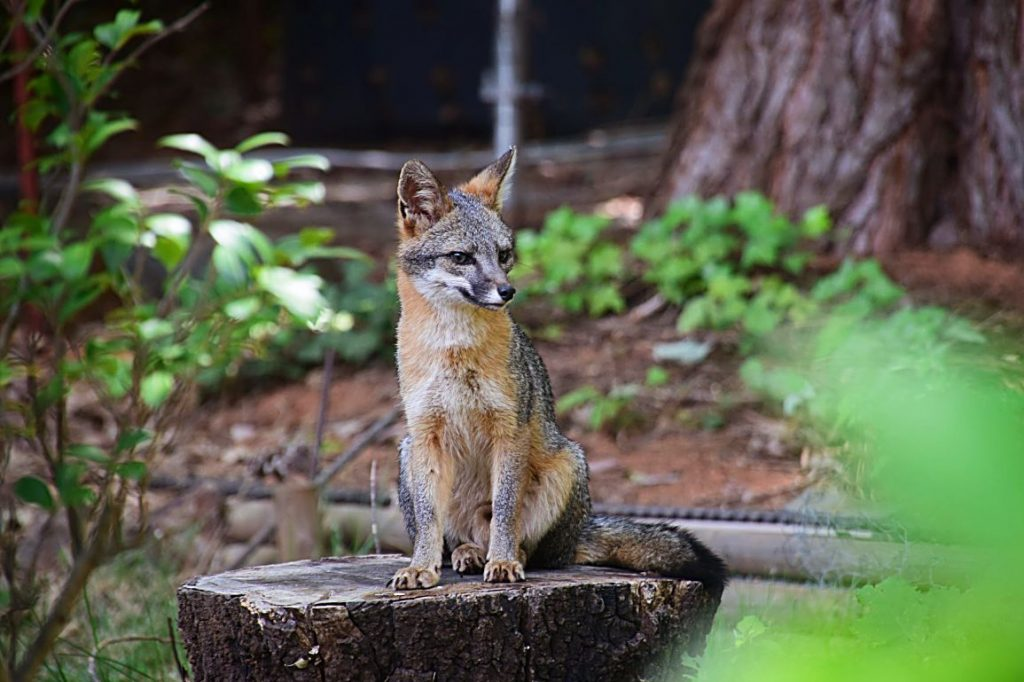 A mother fox watches over her young in our back yard.