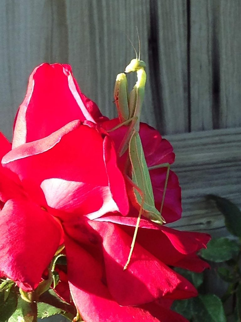 Preying for a last supper: green mantis on red rose.