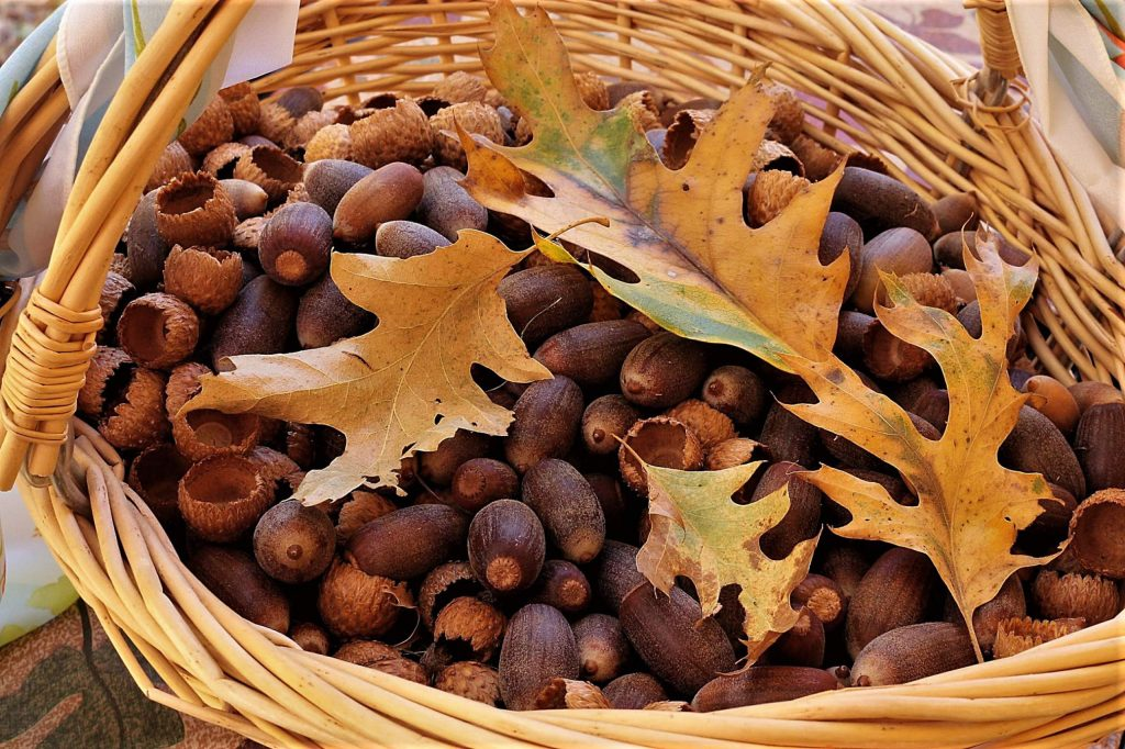 This year we have more acorns than I have ever seen!