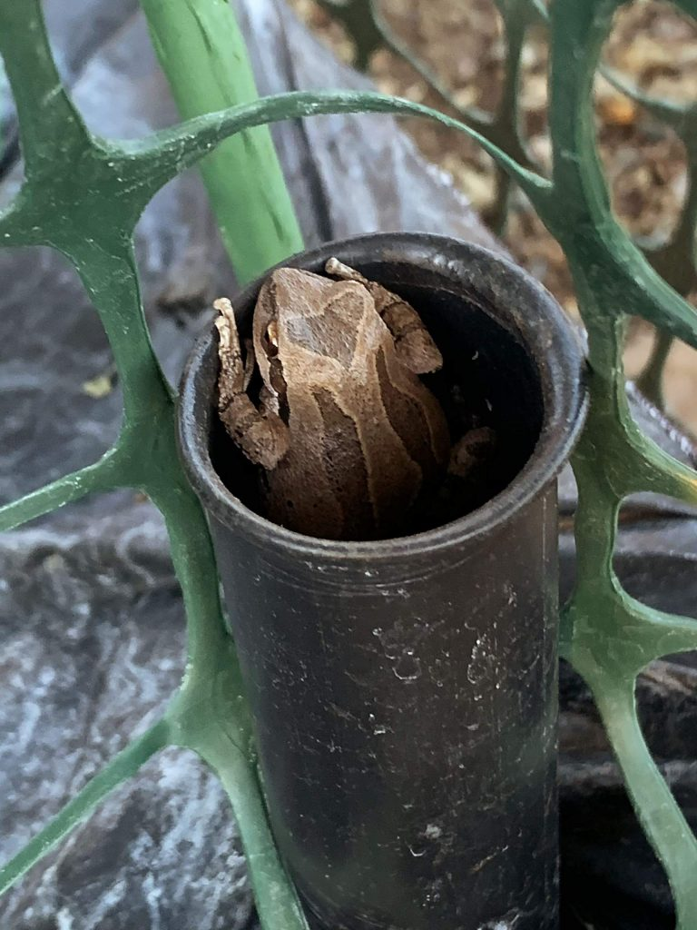 Tree frog with a heart on his head. He lives in the water tube in our tomato plant. Taken in Nevada City.