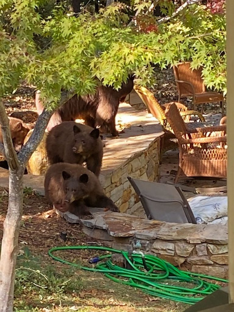 Momma bear and three baby bears enjoying the afternoon on our patio.