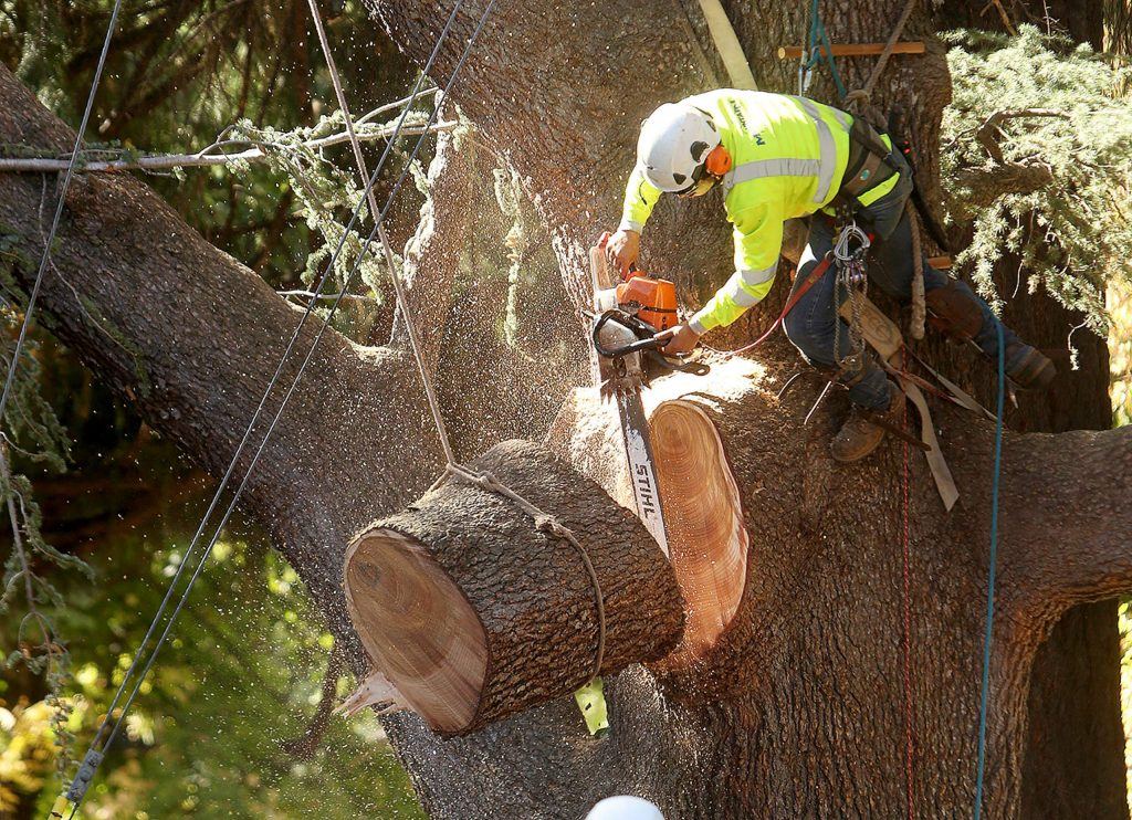 """A Mountain F. Enterprises tree climber uses a chainsaw to cut a portion of a limb from """"Bella,"""" the blue Atlas cedar that was cut down at the request of PG&E Thursday at Broad and Bennett streets in Nevada City."""