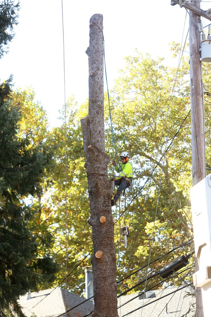 """""""Bella"""" the blue Atlas cedar is brought down to a trunk before it, too, is cut down into pieces by PG&E contractors."""