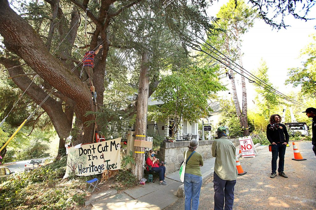 Supporters of Nevada City's trees stand near and sit in one of the city's heritage trees slated to be cut by PG&E contractors at Broad and Bennett streets Friday afternoon while tree cutters work on a neighboring tree.