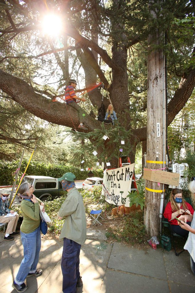 Protesters gather in and around a blue Atlas cedar slated to be cut by PG&E contractors along Broad Street in downtown Nevada City. The Nevada City heritage tree is estimated to be over 150 years old.
