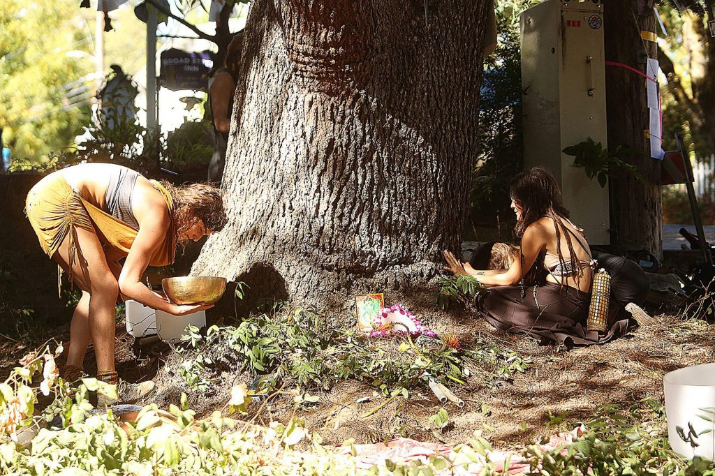 """People performed a Nisenan ceremony to honor """"Bella,"""" the blue Atlas cedar that a Nevada City arborist said is too sick to stay standing for long."""