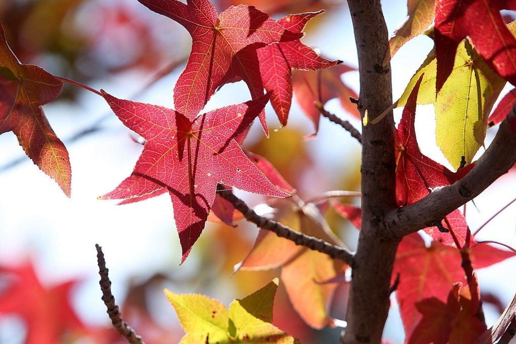Deciduous trees along Spring Hill Drive in Grass Valley have begun to show signs of the changing season as temperatures begin to drop this week and feel more like fall.