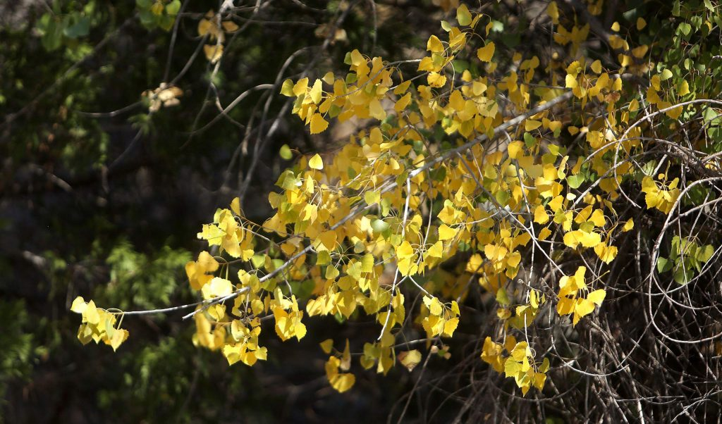 These cottonwood tree leaves have begun to change color on Spring Hill Drive in Grass Valley.