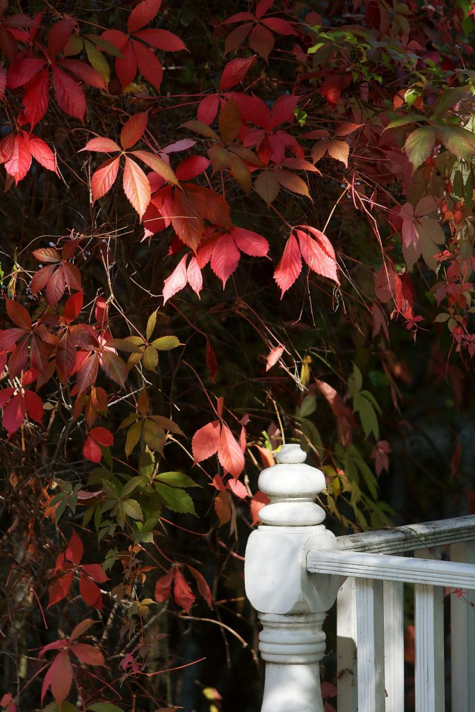 These leaves and vines along Broad Street in Nevada City have turned red for the fall season.