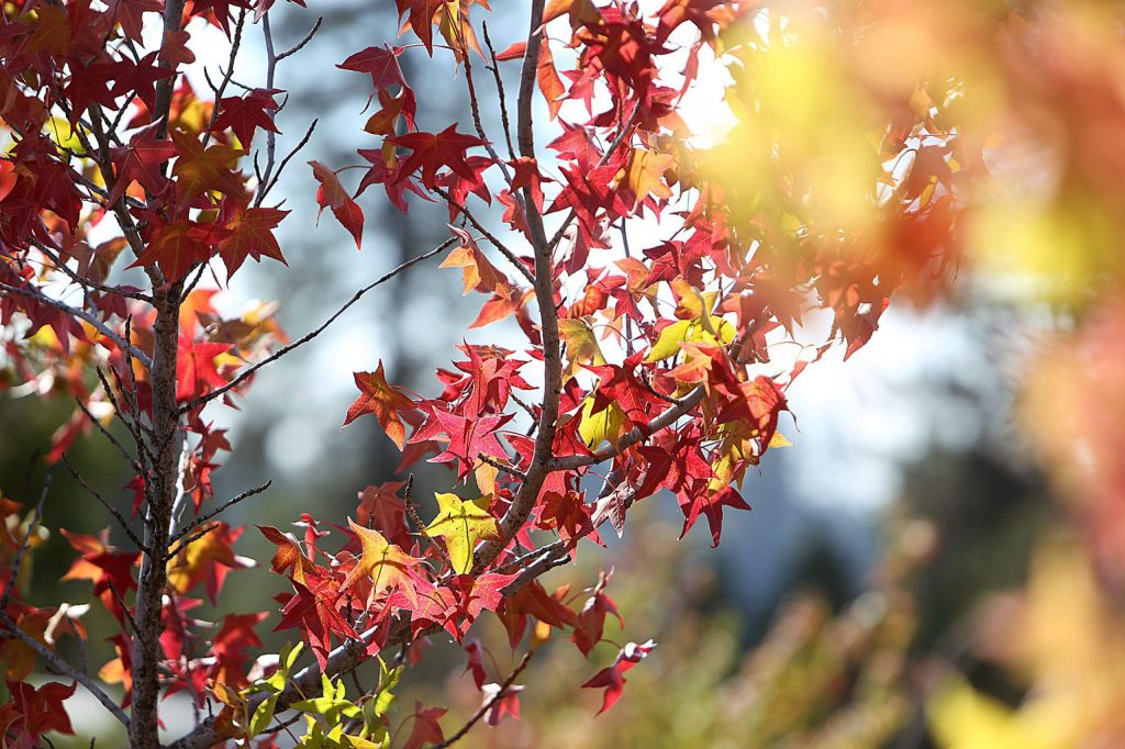 These maple tree leaves stand out among others along Spring Hill Drive.