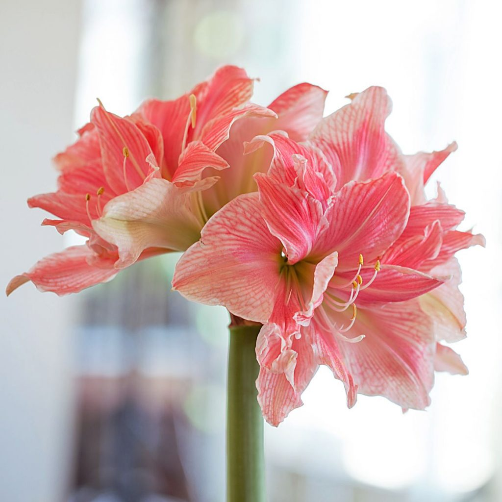Sweet Nymph double amaryllis has layers of creamy white petals decorated with coral pink stripes.