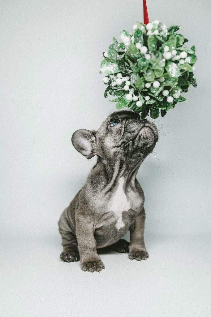 That sprig of mistletoe hanging from the ceiling during the Holiday Season may get you a quick kiss, but it can also be potentially toxic to dogs. While there are several varieties of mistletoe, the most toxic is the broadleaf mistletoe, which commonly grows on oak trees (especially the valley oak).