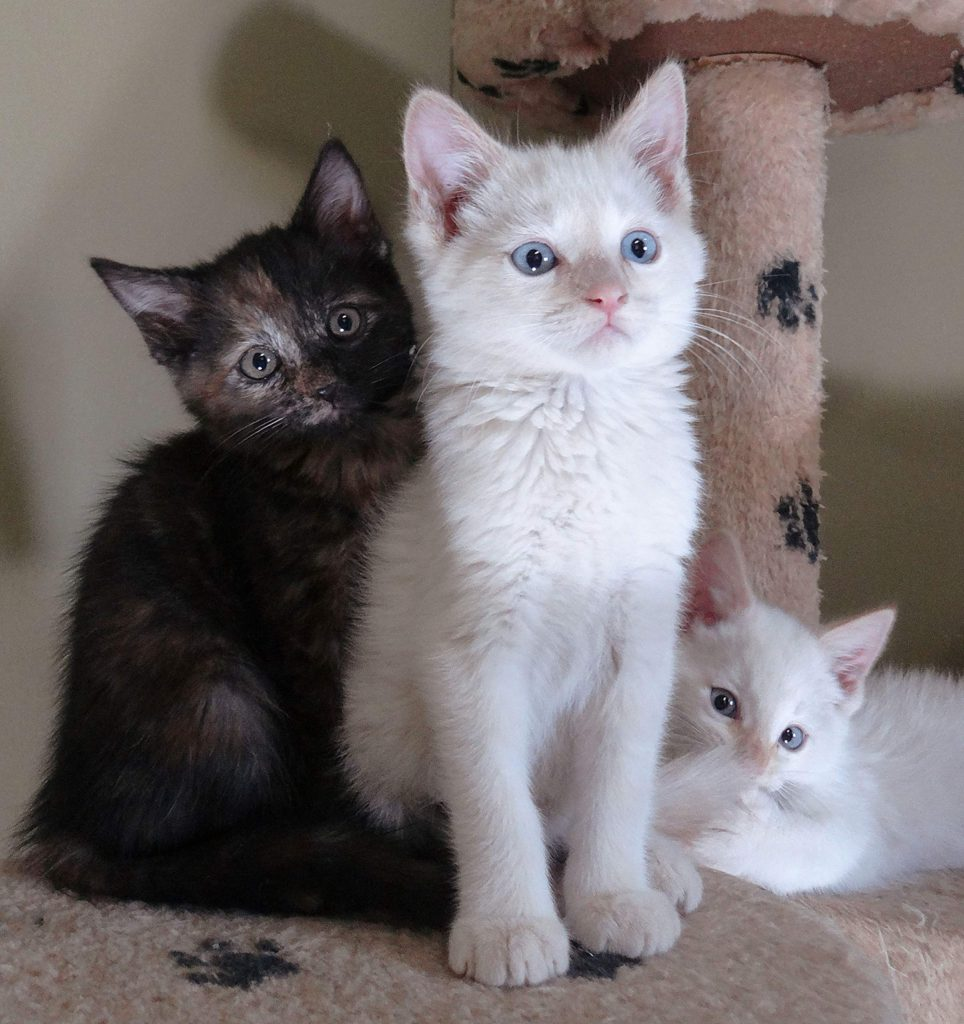 A trio of AnimalSave kittens waiting for their fur-ever homes.