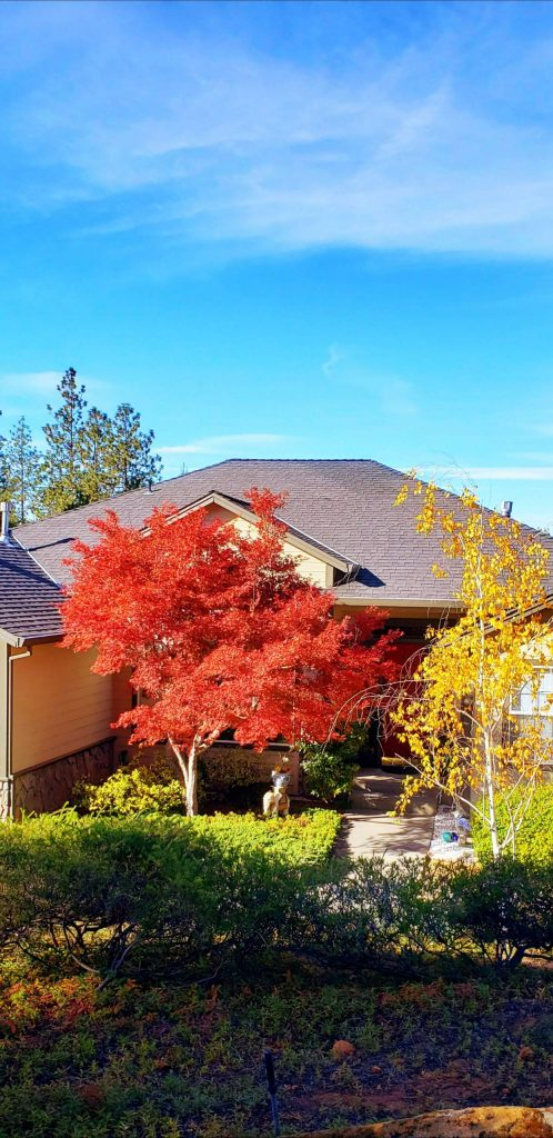 Our beautiful Japanese maple tree.