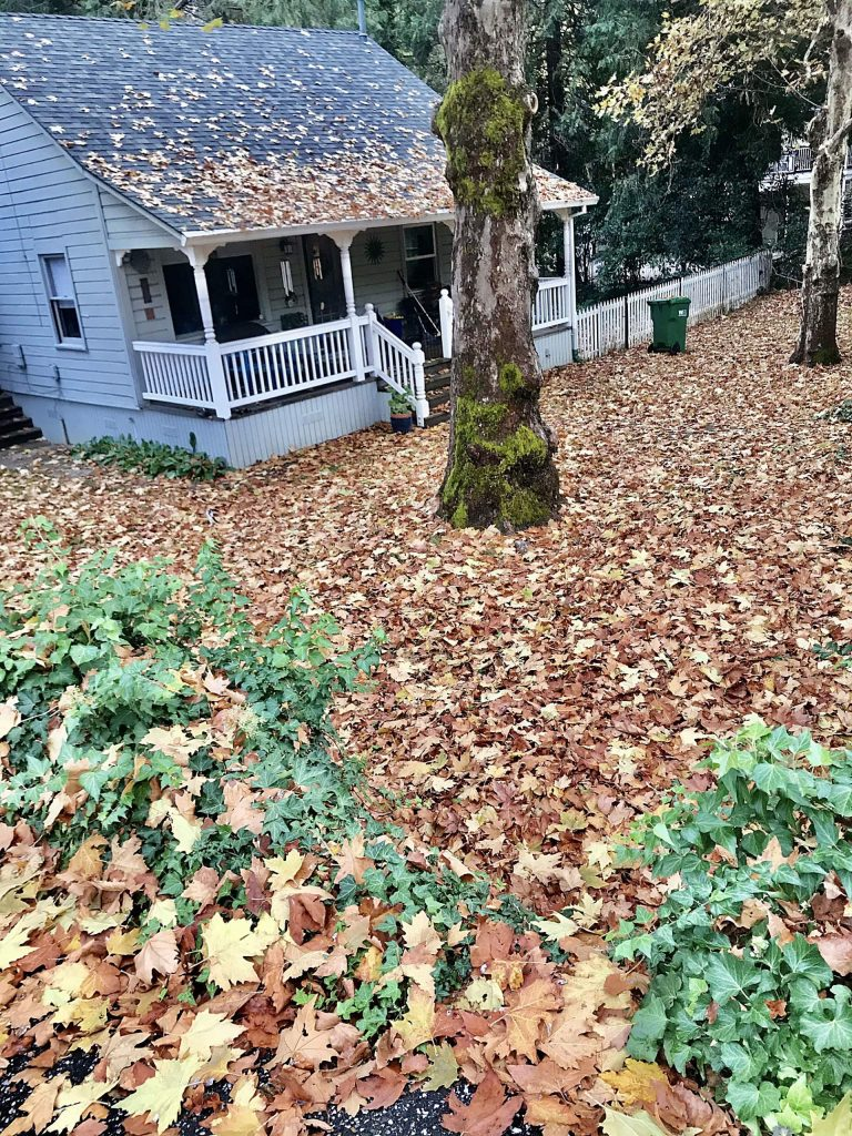 Golden fall carpet from two turn-of-the century sycamore trees.