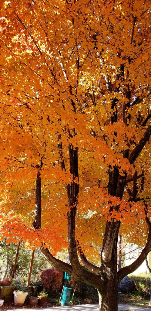 Splendid fall leaves at the Hilltop Commons patio in Grass Valley.