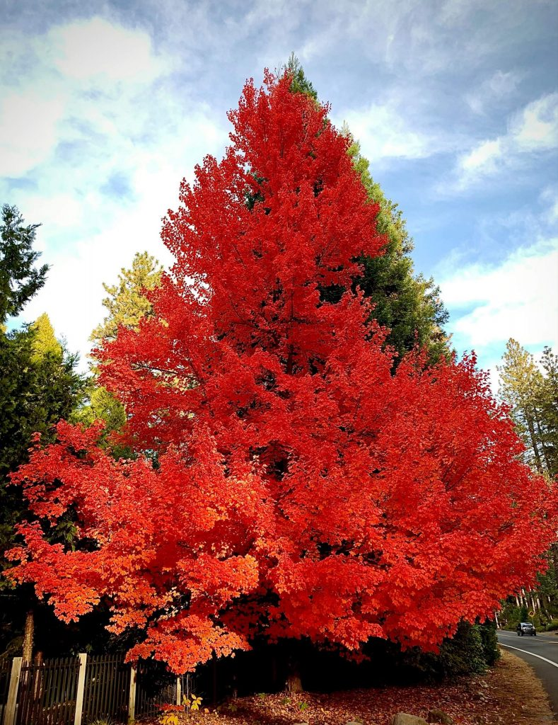This beautiful fall tree was taken on Ridge Road on Nov. 22, 2020. Many people have passed by this same tree and we're all in awe at its beauty.