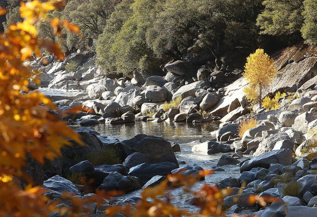 Fall colors have hit the South Yuba River, as seen from the Highway 49 bridge over the weekend. A lone cottonwood tree sticks out with its yellowed leaves.