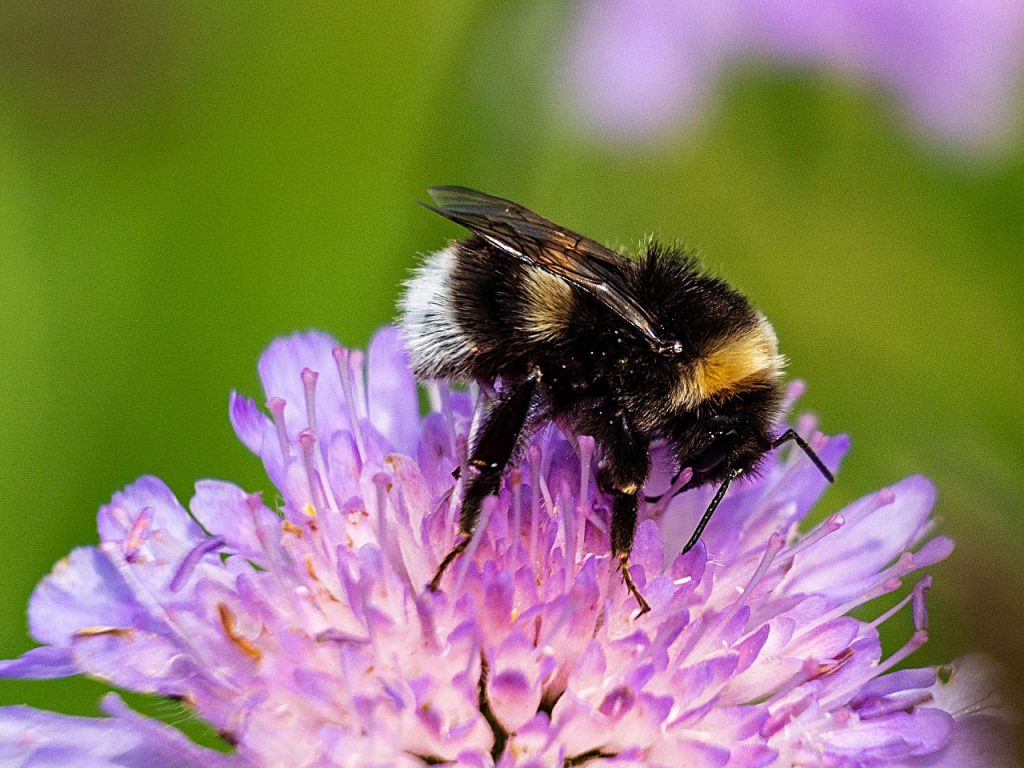 After a long warm fall, the weather has finally cooled down. If you've been out visiting the last flowers in your garden you may have seen some of the last of the pollinators visiting them. Most likely they were bumble bees.